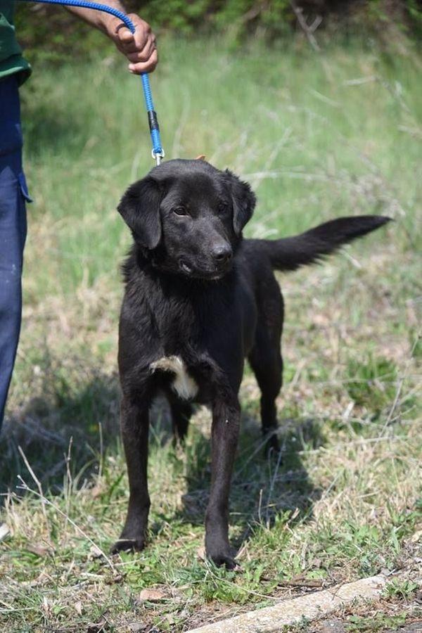 Labrador Artschi sucht dringend zu