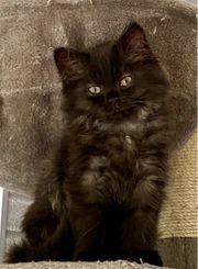 Sibirische Waldkatze Perser Edelmix Kitten
