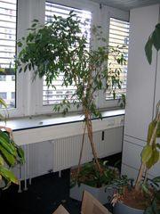 große Zimmer-Kübelpflanzen