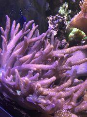Sinularia Ableger Meerwasser