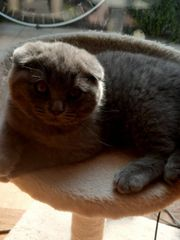 BKH Kitten Männchen abgabebereit