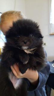 Japan-Chin Pomeranian Welpen