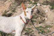 Clara - Podenco-Mischling aus dem Tierschutz