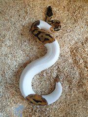 königspython python regius pied albino