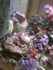 Lederkorallen und Scheibenanemonen Meerwasser