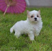 Yorkshire Terrier Golddust Welpen mini