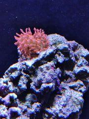 Meerwasser Anemone