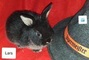 Farbenzwerg Kaninchen Frühkastrat