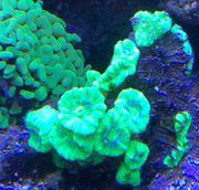 Caulastrea Korallen Meerwasser Korallenableger Ableger