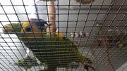 Bahia Blaustirnamazone Weibchen zahm und