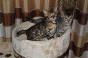 Reinrassige Bengal Kitten die Rasse