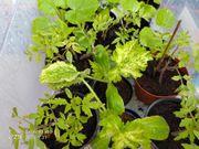 Gemüse Pflanzen Zucchini Tomate Kürbis