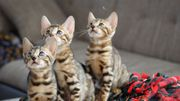 Bengalkitten Bengalkatzen