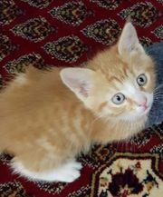 Persa-BKH-Mix kitten suchen ein neues