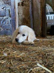 Kaukasischer Owtscharka-Slovensky Cuvac Herdenschutzhund Kreuzung