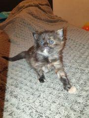 4 perser- Maine-coon kitten anzugeben