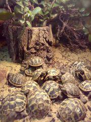 Griechische Landschildkröten NZ 2019 und