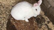 3 Kaninchen Weibchen Gesund