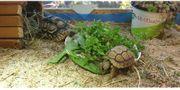 Terrarium mit Pantherschildkröten