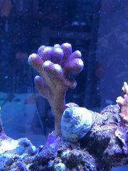 Meerwasser Aquarium Korallen Ableger Stylophora