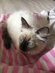 zauberhaftes Ragdoll Edelmix Kitten