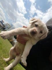 Reinrassiges Labrador Mädchen 12 Wochen