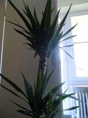 Yucca Palme mit neuem Keramikübertopf