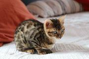SEHR SCHÖNER Bengal Kater Kitten