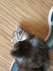 Main Coon Baby