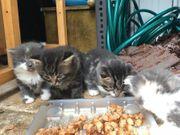 Gesunde Maine Coon Kätzchen