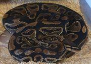 Python regius 0 4 adulte