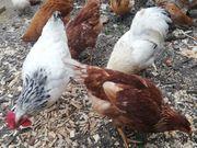 Hühner Gruppe 1 5 sucht