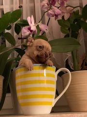 Chihuahua x Prager Rattler Welpen