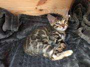 Reinrassige Bengalkatzen Kitten mit Stammbaum