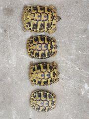 4 Griechische Landschildkröten Testudo hermanni