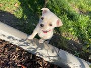 West Highland White Terrier Westi
