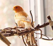 Oranger Kanarienvogel beringt 2013 mit