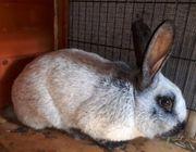 Kaninchen Hasen Ramler