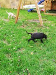 Labrador Welpen M und W
