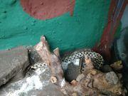 thamnophis marcianus strumpfbandnatter