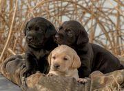 Labrador retrievers welpen