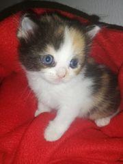 Bkh kitten suchen dich euch