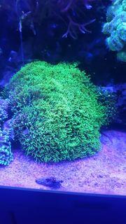 Briareum Hamrum Koralle