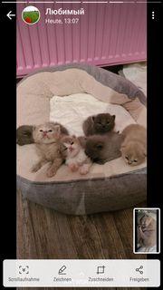 Bkh-kitten suchen ein neues Zuhause