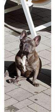 Französische Bulldogge blau mit AT