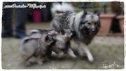 Deutscher Wolfsspitz Welpen aus Champion