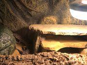 Zwei Leopardgeckos abzugeben mit Glasterrarium