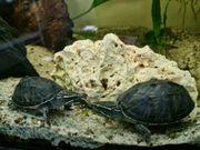 Moochus wasserschildkröten