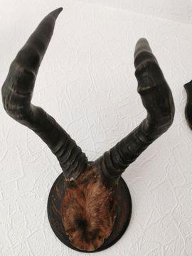 Sonstige Sammlungen - Geweihe von afrikanischen Tieren und