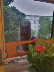 maine coon persa dame